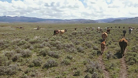 Herding Cattle in Wyoming