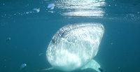 EXPEDITION VLOG 1 - WHALE SHARKS, Revillagigedos