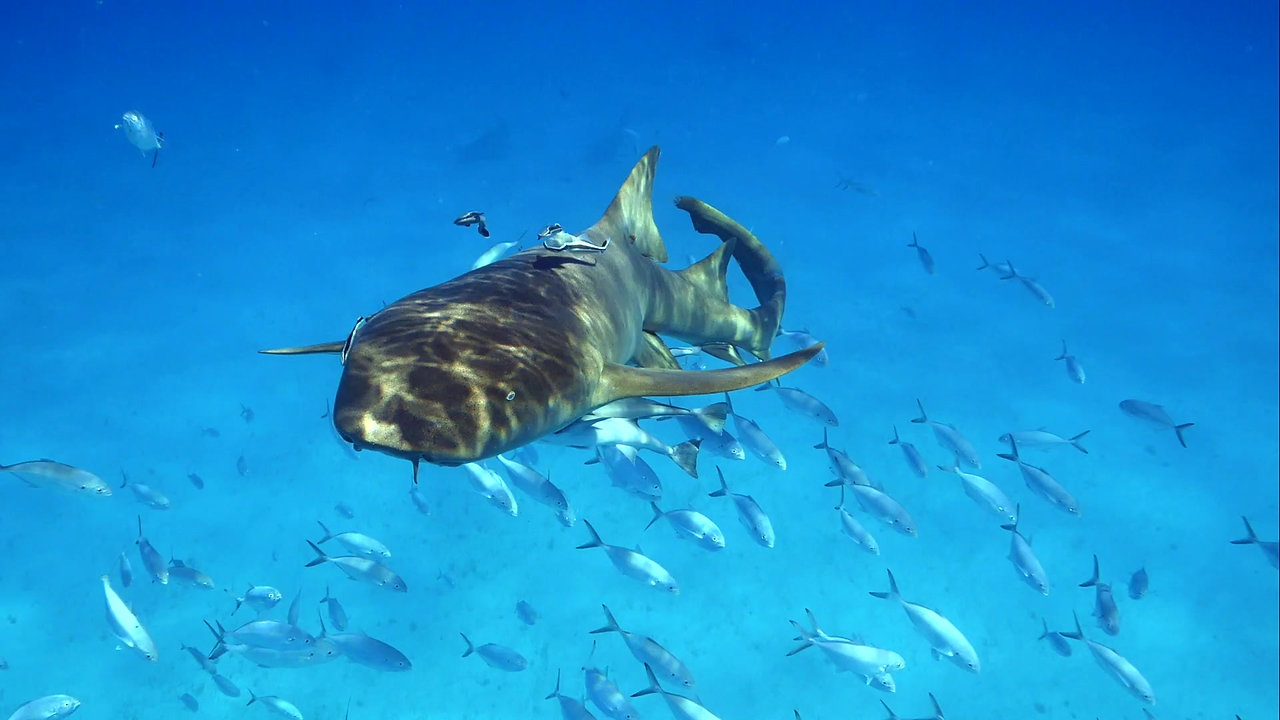 BIMINI GREAT HAMMERHEAD SHARK EXPEDITION  - THE WATERMEN PROJECT
