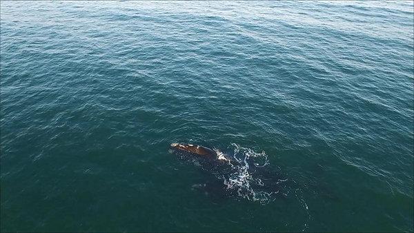 Baleia franca-austral no litoral catarinense