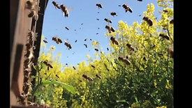 Les abeilles noires activité ruche