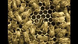 La reine chez l'abeille noire