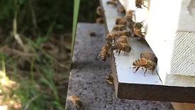 Entree ruche abeilles 2