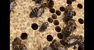 Naissance des abeilles