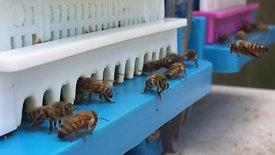 Activité des abeilles en ruche Technoset