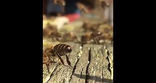 Glande de Nasanov des abeilles