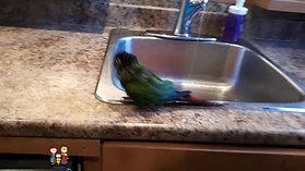 Le bain du perroquet