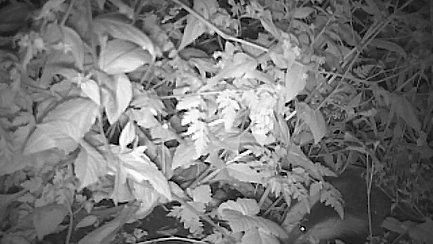 Badger cam 01