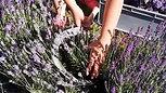 Blue_Hill_Lavender