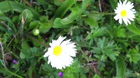 video-Daisy