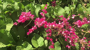 Bees in the Coral Vine