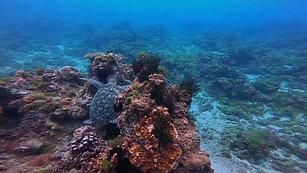 在珊瑚礁上休息的海龜