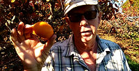 Why our Persimmons are sweeter than store bought fruit