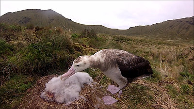 For Birds in Peril, Gough Island, Feb 2015 720p