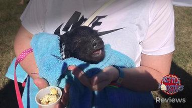 Pigs Love Kettle Popstars