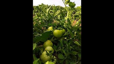 Prueba tomate