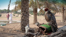 Al Maha desert resort, falcon