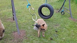 Puppy enjoying the tug