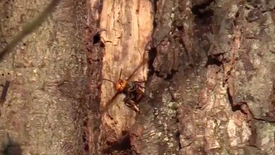 Asian giant hornets, which are also known as murder hornets, found to have nested in the U.S. for the first time. The nest was found in Blaine, Washington