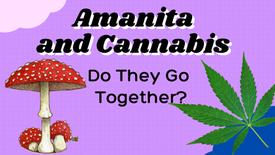 Amanita And Cannabis