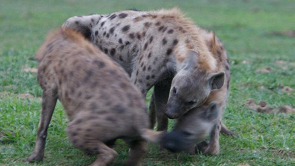Hyena Queen: tease