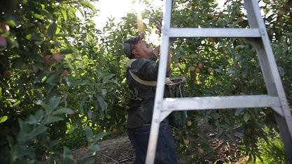 ORCHARD LADDER SAFETY - ESPAÑOL