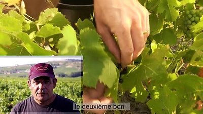 vendange du Beaujolais en juillet 2050