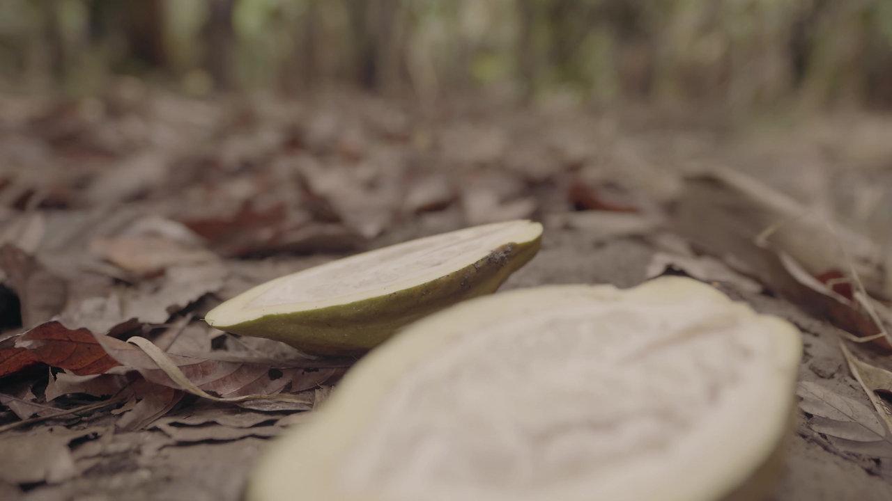 Cacao criollo blanco