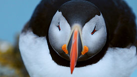 puffins close-up Iceland