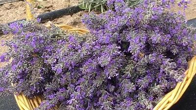 Honeybees on Freshly Cut Lavender