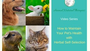 Introduction to Video Series:  How to maintain your pet's health with herbal self-selection