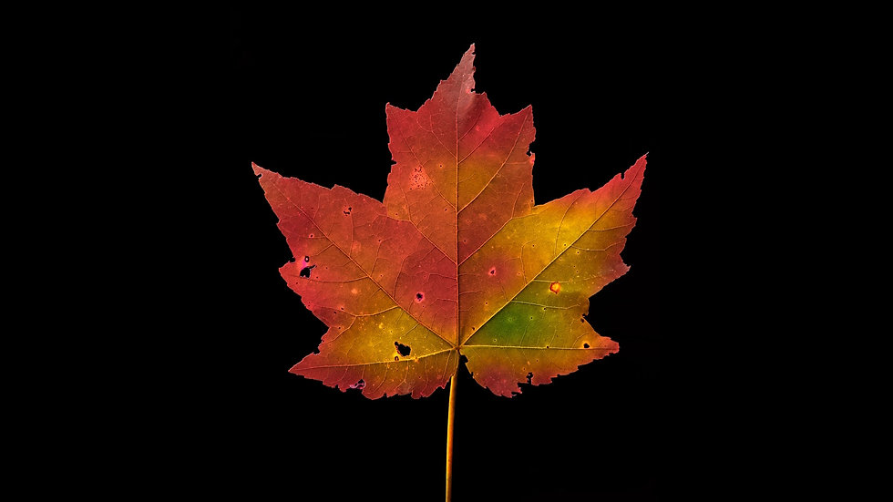 Autumn Leaf Changing Colors - 1080 - Full License Available