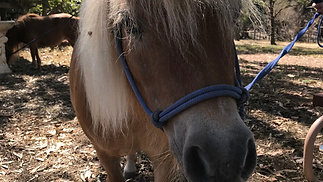Our search for the perfect minature horses