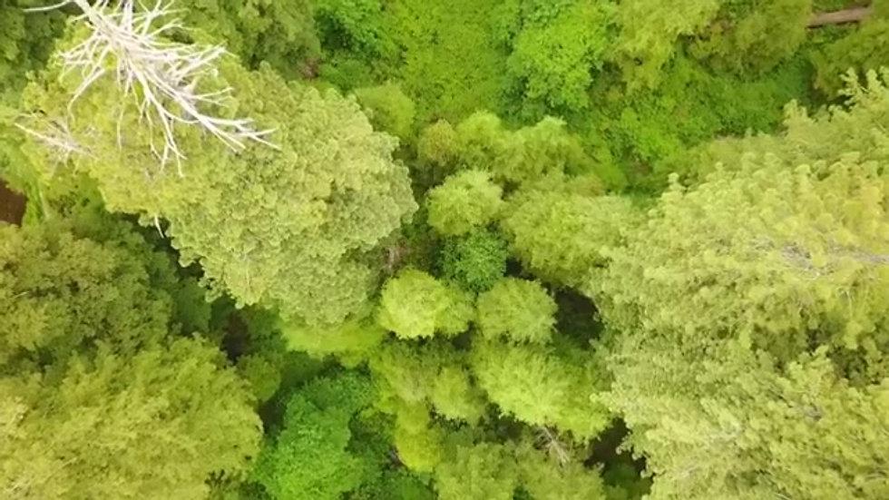 5 Biggest trees left on earth