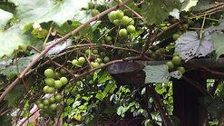 The Nesbitt Grape:  A Muscadine