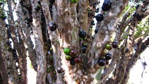 Tree Grapes