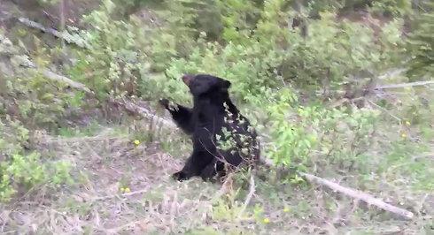 Sortbjørn i Canada