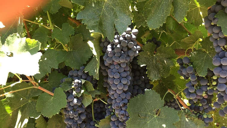 Learn About the Lodi Appellation