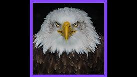 Le Bald Eagle est un imposteur