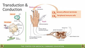 Pain & the Endocannabinoid System