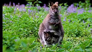 What A Wallaby Sounds Like