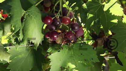 Frelon dans les vignes