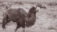 Harvesting Camel Hair