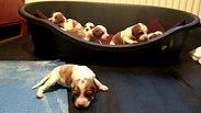 Irish Red and White Setter puppies