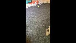 Fudge's pups - 8 weeks old 2nd video