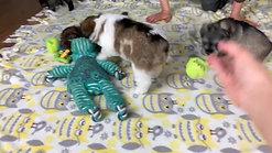 Emma's & Paddington's pups 6wks #1