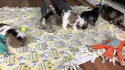 Emma's & Paddington's pups 6wks #2