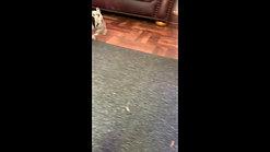 Fudge's pups - 8 weeks old 3rd video