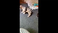Fudge's pups - 8 weeks old 1st video