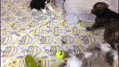 Riley's pups - 5 weeks old